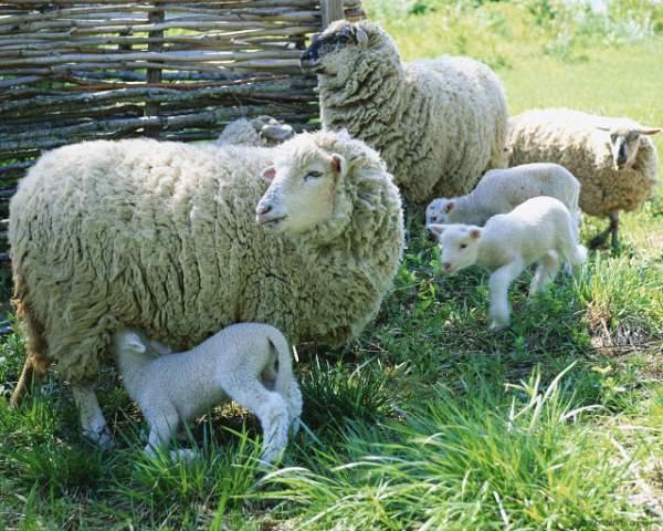 вакцинация овец в летний период.