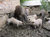 продаю поросят Венгерської мангалиці (кучерява пухова) та породи Мангал