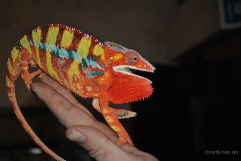 продам : Большой выбор экзотических животных по смешным ценам!