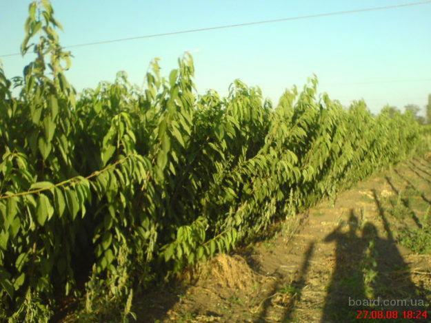 Саженцы плодовых деревьев кусты роз