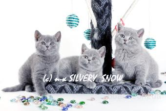 Продаются голубые британские котята из питомника