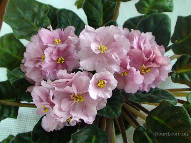 Комнатные растения сенполия фиалки