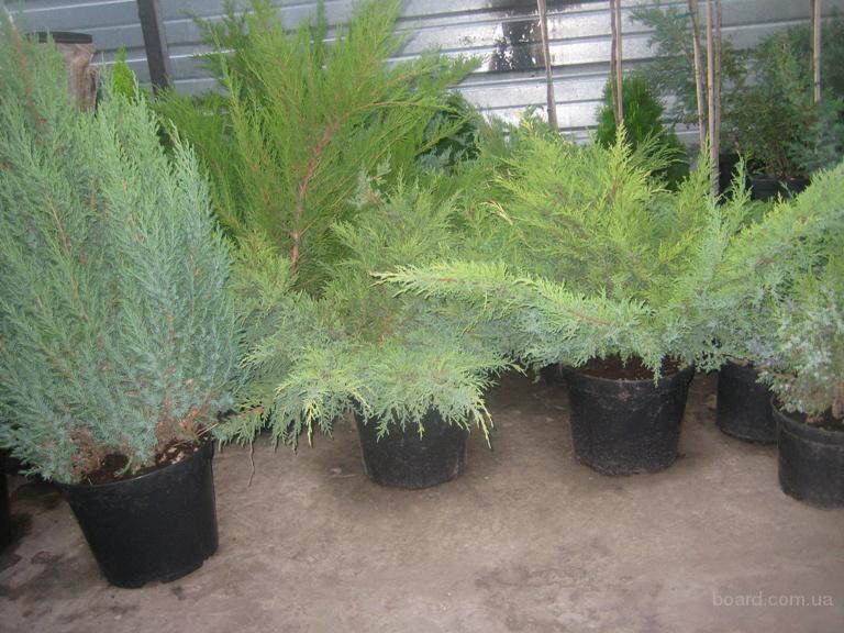 Декоративные вечнозеленые растения