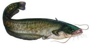 фото: Продам рыбу карась карп судак товстолоб сом лещ плотва густёра.