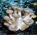 семена грибов вешенки, шампиньона (мицелий) недорого киев