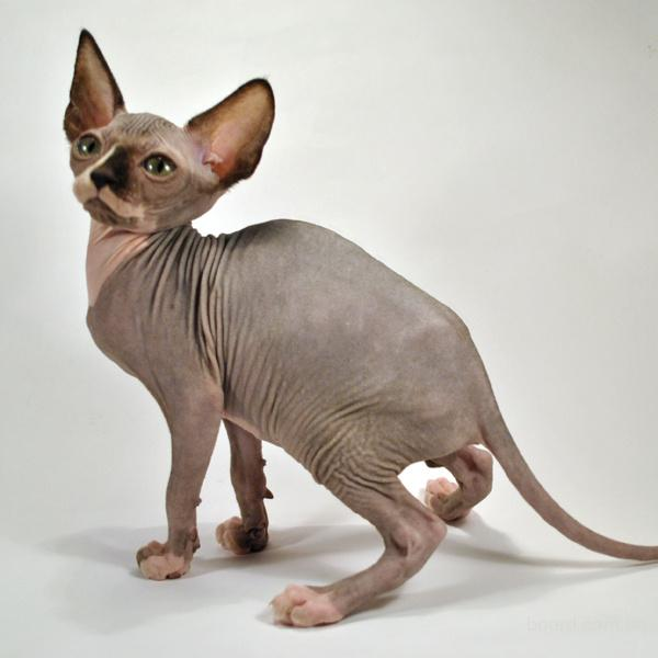 Продам котят, породы Канадский сфинкс.