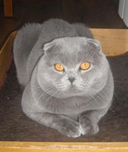 Окрас: голубой.  Возраст: от 3 до 4 лет.  Порода: Шотландская вислоухая.  Питомец: Кот.