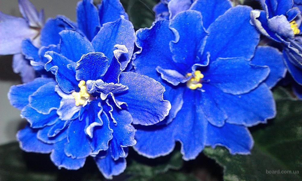 Похожие на фиалку цветы 128