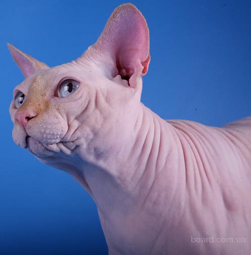 Срочно продам кота.  Питомник канадских сфинксов Charmlize.