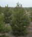 Живая елка и сосна оптом официально с документами