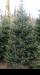 елка, сосна, живая елка, живая сосна, жи