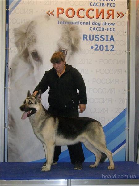 продам : щенки восточно-европейской овчарки.