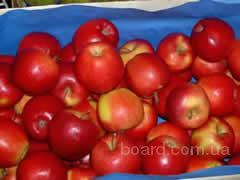 польские яблоки. яблоки польские.