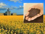 Продажа семян подсолнечника и гибридов рапса