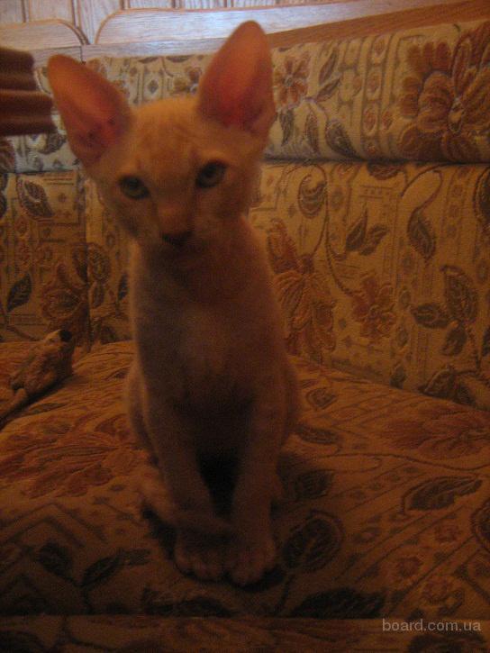 котенок браш фото