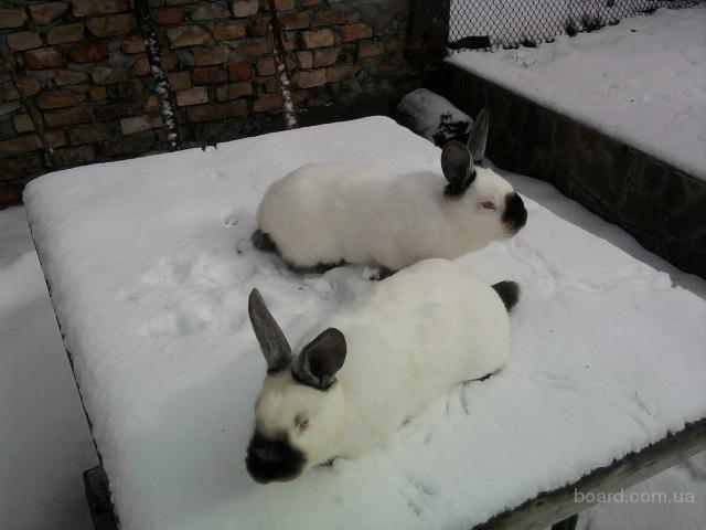 Калифорнийские кролики продам