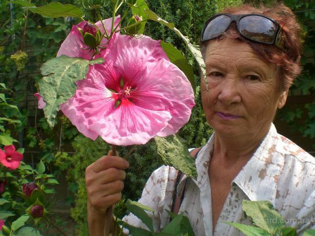 Садовые зимостойкие гибискусы - семена и саженцы