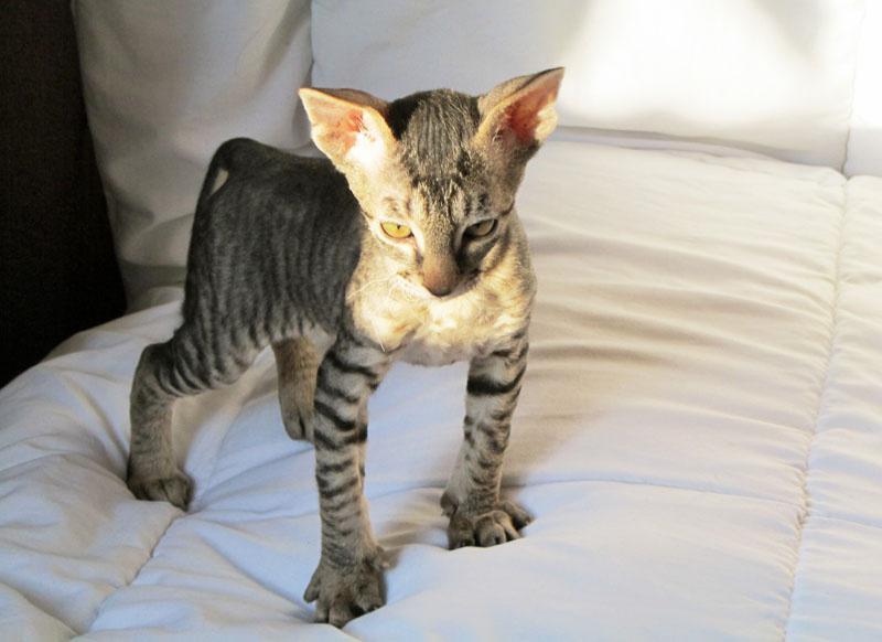Котята корниш-рекс купить - Кошки корниш-рекс