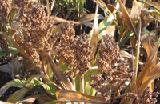 Продаём семена зернового сорго Прайм F1