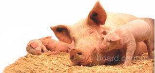 Продаем концентраты для всех видов свиней