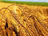 Куплю пшеницу 2-3 кл.