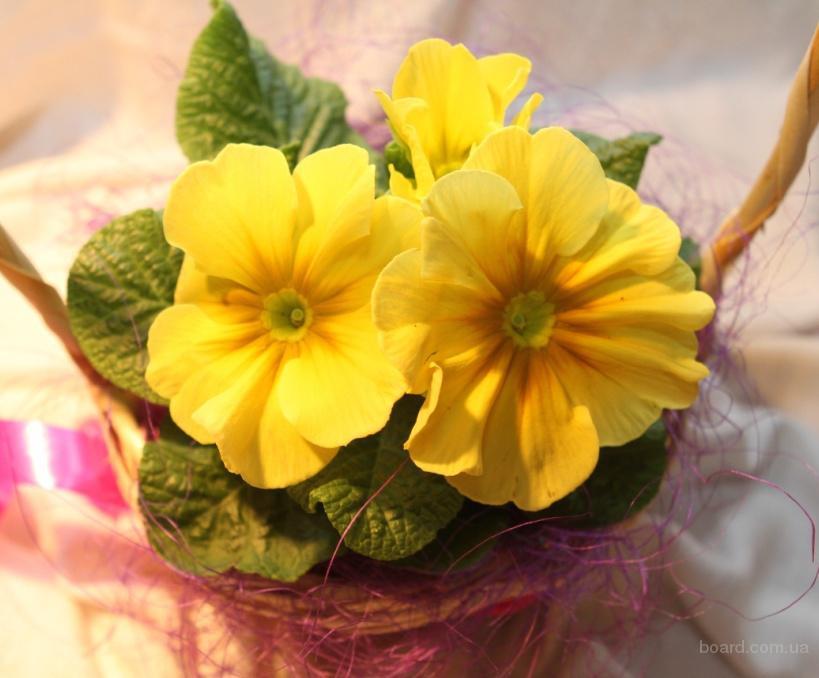 Купить примула, бегония, азалия! г.Киев. Оптом скидки! Цветы и подарки для женщин на 8 марта! Композ