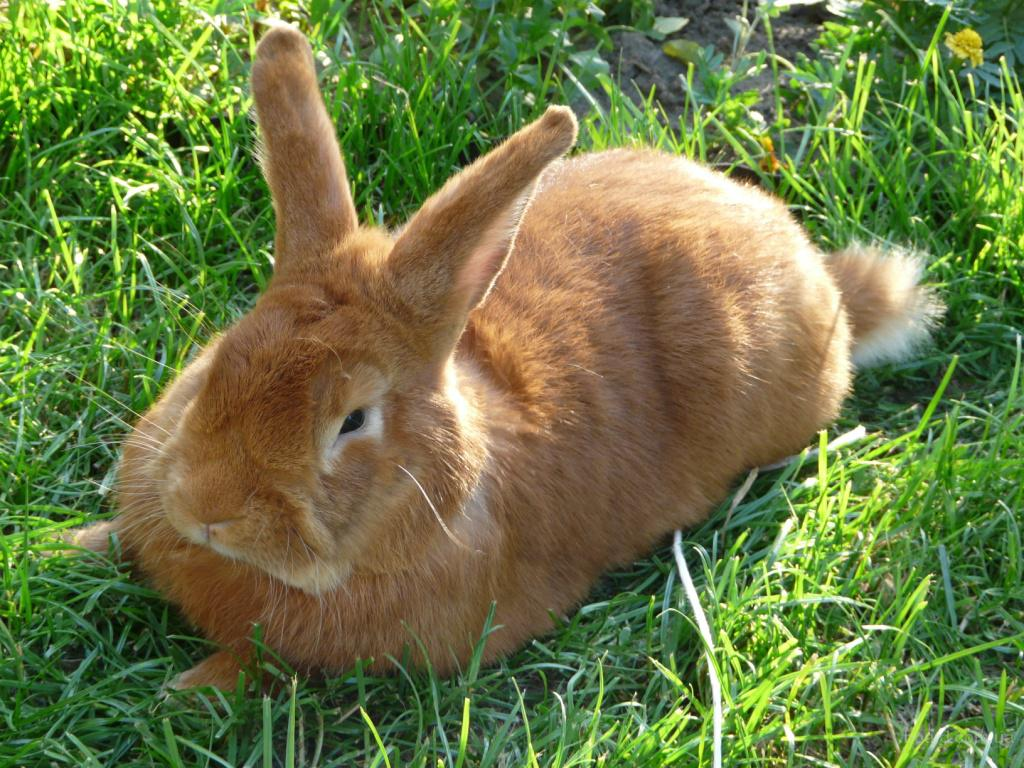 Кролики декоративные и мясные породы