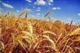 Предприятие ООО «ЮГ Агро Трейд» на постоянной основе закупает пшеницу.