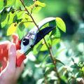 Обрезка деревьев – услуги