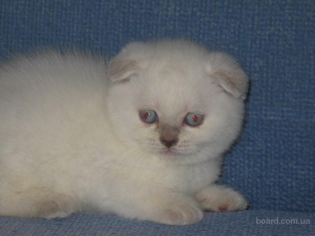 шотландский котик редкого линксового окраса