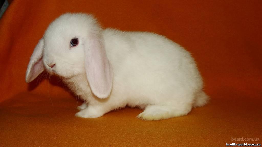 карликовый кролик баран фото