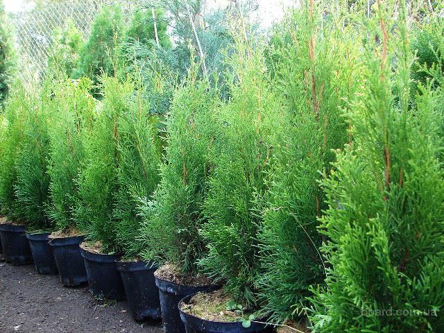 Декоративные растения недорого
