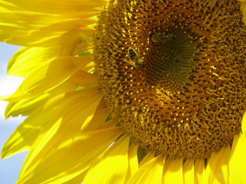 Продам посівний матеріал (насіння) кукурудзи та соняшника. Україна,ціна,купити.