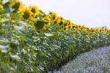 Семена подсолнечника ЕС Артимис (Clearfield)