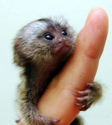 Карликовые игрунки – потешная парочка ручных обезьянок