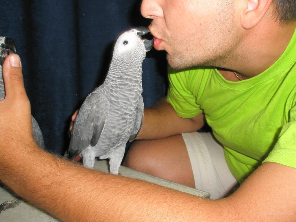 Попугай Жако Краснохвостый. Окольцованные птенцы (выкормыши)