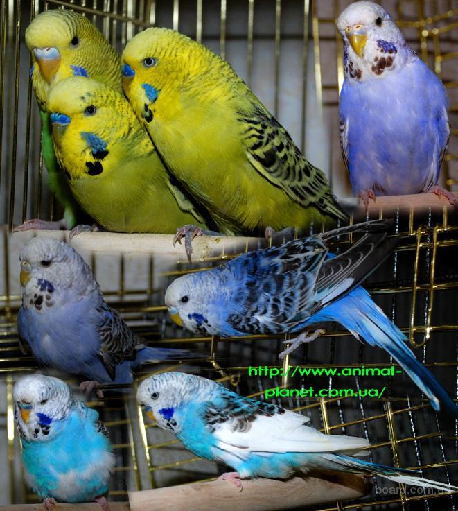 Ручные волнистые попугаи, Выставочные чехи и другие мелкие породы