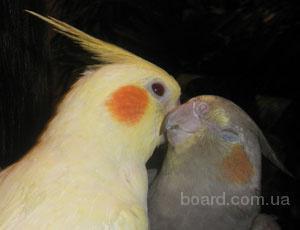 Ручные Кореллы и другие мелкие породы попугаев