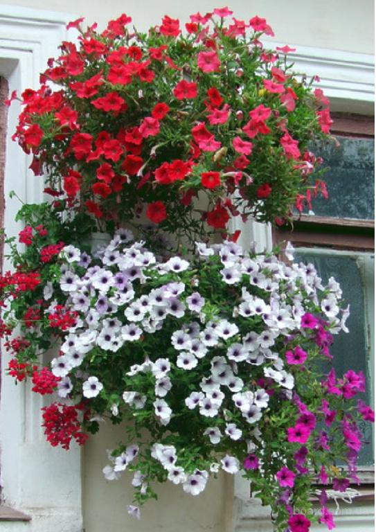 Пеларгония  уход в домашних условиях фото растения