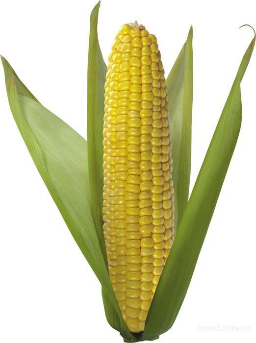 В продаже Семена, посевматериал кукуруза гибриды импортные по доступной цене c фотографиями и описанием...