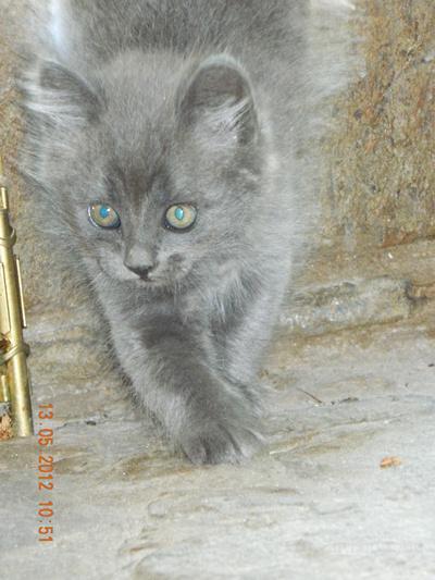 Купить Британского Котенка в Минске, Беларуси: фото, цена 90
