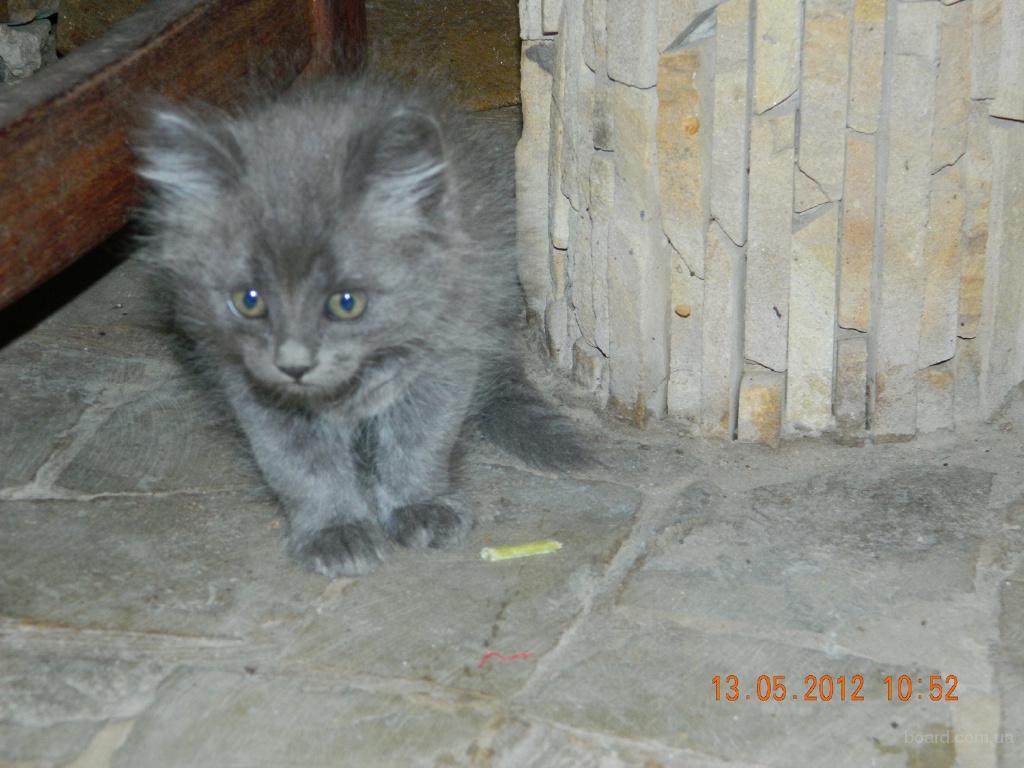 Купить Британского Котенка в Минске, Беларуси: фото, цена 48