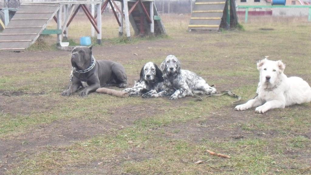 Дрессировка,натаска собак охотничьих пород!!!Киев.