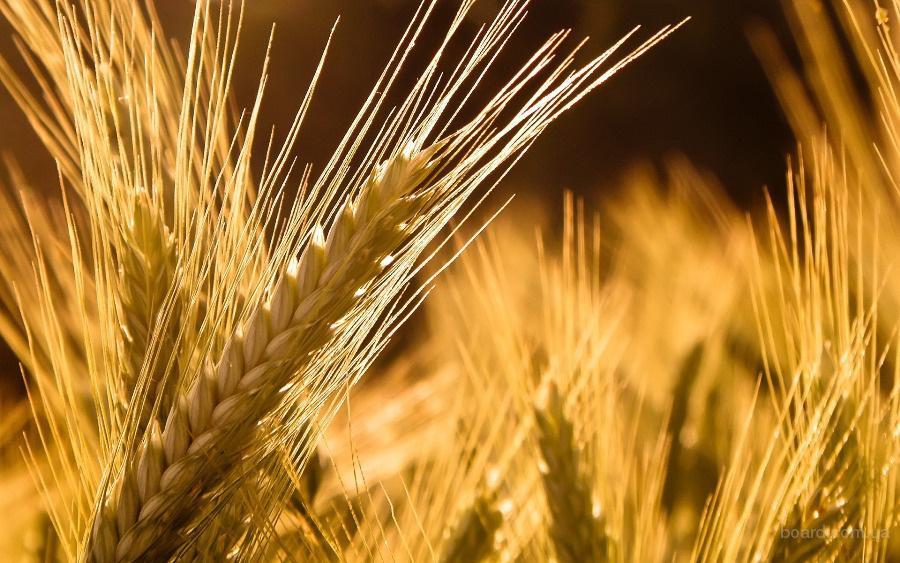 Продам высококачественный посевной материал сортов озимой пшеницы