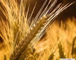 Закупаем ячмень,пшеницу,просо, кукурузу,сою,подсолнечник,горчицу,горох,рапс,лён.