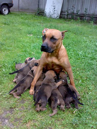Продам продам собаку американский