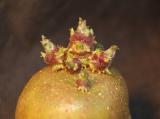 Качественные семена картофеля немецкой селекции.