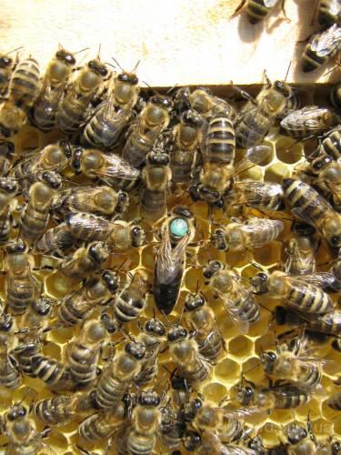 Пчёлы. Пчелиные плодные матки. Карпатка. Вся Украина