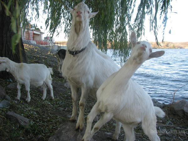 Козлята.Козлы племенные. Коза. Зааненские,Ламанча.Обезроживание козлят.Случка.