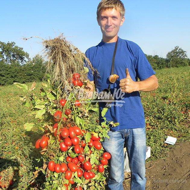 Семена Clause от официального дистрибьютора в Украине